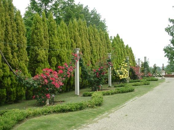 蜻蛉池公園薔薇の花綱