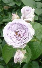 花の文化園の青い薔薇?ブルーバユーもあった・・・
