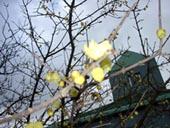 1月21日(火)ロウバイ:花の文化園