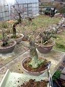 1月21日(火)盆梅の手入れのボランティア実習
