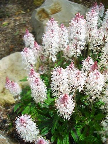ティアレアの花
