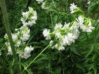 ソープワート八重白花