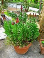 赤花ロベリア