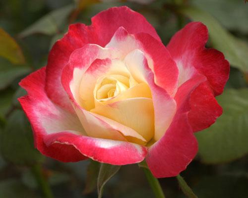 絞りの薔薇