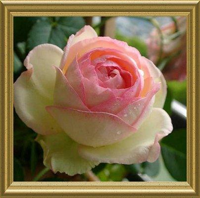 薔薇の画像 p1_15